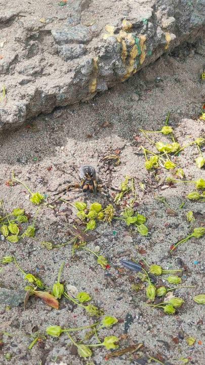 южнорусский тарантул в Днепре, пауки в Днепре, жилмассив Калиновский